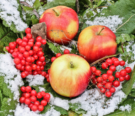 Apples and Viburnum in the snow. Red Apples and Viburnum in the snow and grass close up. First snow. Autumn and snow. Winter