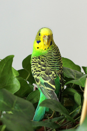 A parrot. A wavy parrot in green color