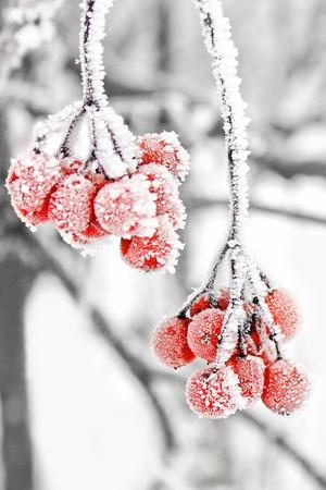 Winter Frozen Viburnum Under Snow. Viburnum In The Snow. First snow.