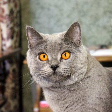 Gray cat with beautiful eyes. Cat is close-up.