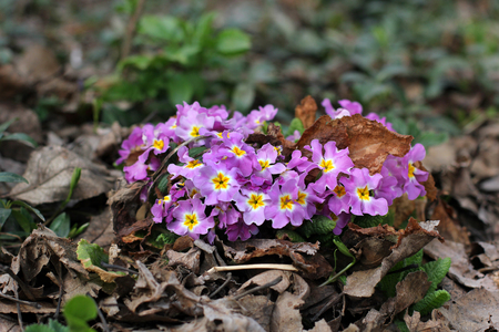 Early spring flowers. The first flowers in the garden. Stock Photo