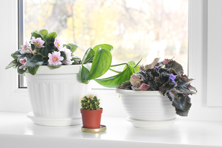 House plants. Flowerpot. Violets