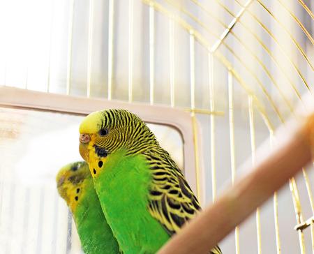 Parrot near the mirror