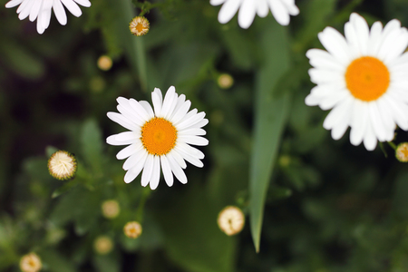 Chamomile. Flowers Background Banque d'images