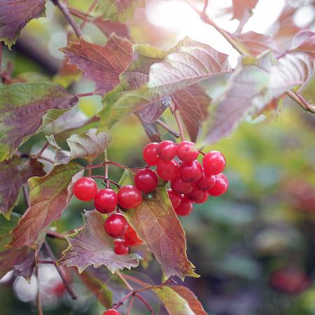 Viburnum on the tree. Autumn Zdjęcie Seryjne
