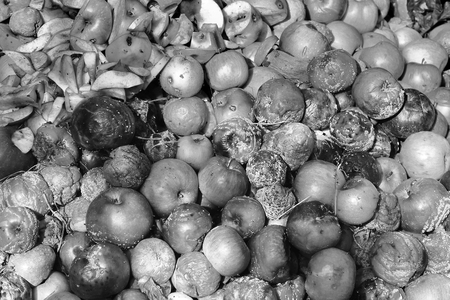 Rotten apples. Background. Rotten apples. Black and white photo Standard-Bild - 112734791