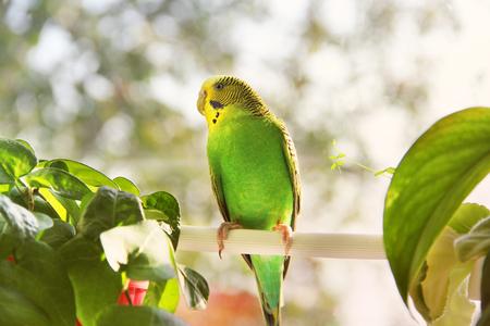 Perruche. Perroquet près de la fenêtre