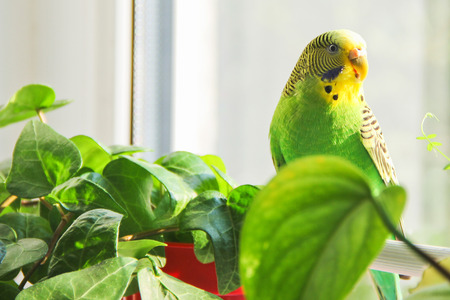 Budgerigar. Parrot near the window
