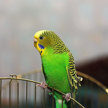 The wavy parrot sits on the cage