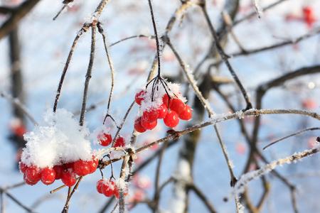 Viburnum In The Snow. Beautiful winter