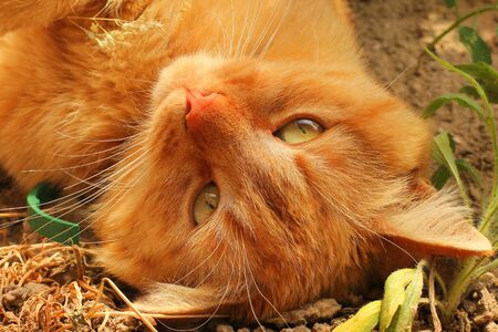 Beautiful red cat lying on the street. Cat close up