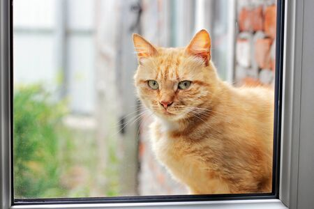 Beautiful red cat in the window. Cat close up