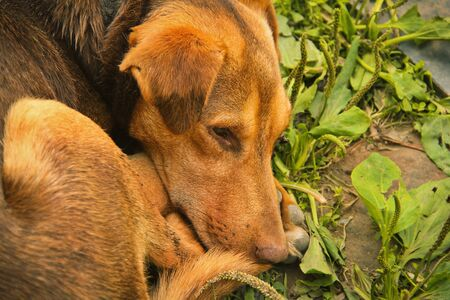 The brown dog lies in a grass close up