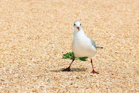Larus argentatus. Silver gull on the seashore. Gull