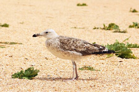 Larus argentatus. Silver gull on the seashore. Gull