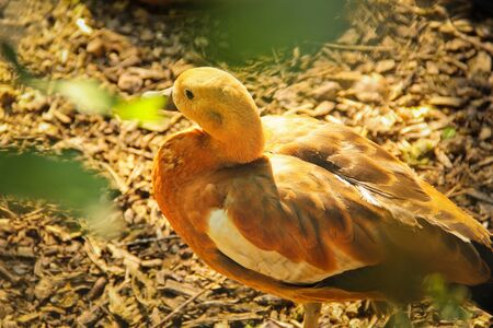 Beautiful duck. Duck close up. Abstract photo