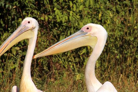 Pelecanus. Pelicans on the background of trees. Sea bird Stock Photo