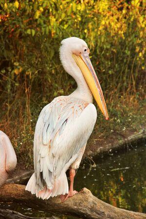 Pelecanus. Pelicans near the water. Sea bird