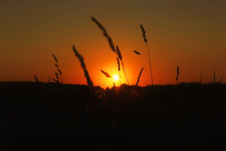 Spikelets of grain in the field at sunset background