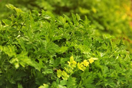 Parsley in the garden close-up. Background. Petroselinum crispum