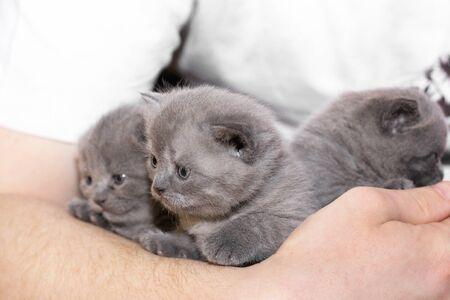Three little kittens in their hands. Felis catus. Cat. blue eyes