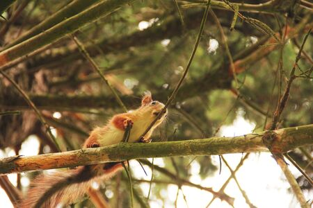 Sciurus. Rodent. A squirrel sits high on a tree. Beautiful red squirrel in the park. Bottom view