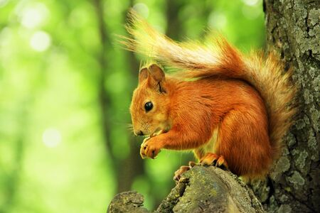 Sciurus. Rodent. The squirrel sits on a tree and eats. Beautiful red squirrel in the park. Фото со стока