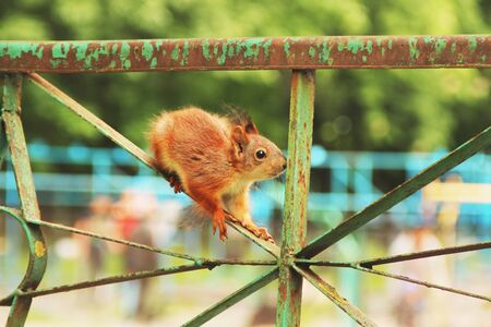 Sciurus. Rodent. The squirrel sits on a metal fence. Beautiful red squirrel in the park Фото со стока