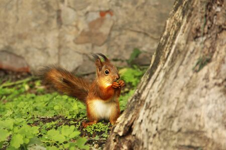 Beautiful red squirrel in the park. Sciurus. Rodent. Squirrel on the grass eats