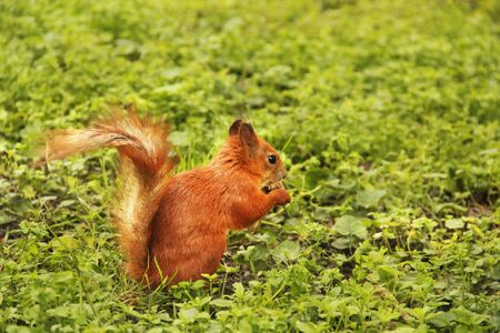 Beautiful red squirrel in the park. Rodent. Squirrel on the grass eats