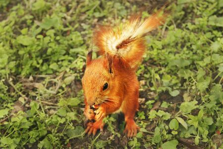Beautiful red squirrel in the park. Rodent. Squirrel on the grass eats. close up Фото со стока