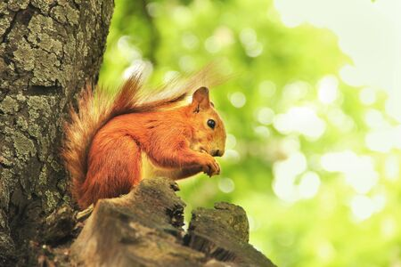 Sciurus. Rodent. The squirrel sits on a tree and eats. Beautiful red squirrel in the park Фото со стока