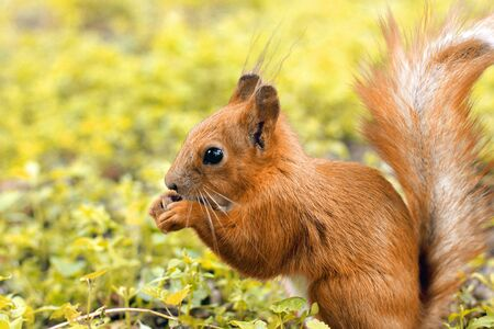 Sciurus. Rodent. The squirrel sits on the grass and eats. Beautiful red squirrel in the park Фото со стока