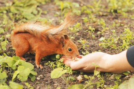 Sciurus. Rodent. The squirrel eats nuts from the hand. Beautiful red squirrel in the park