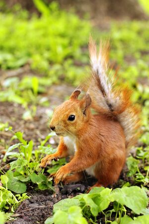 Sciurus. Rodent. A squirrel is sitting on the grass. Beautiful red squirrel in the park Фото со стока