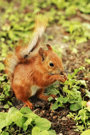 Sciurus. Beautiful red squirrel in the park. Rodent. Squirrel on the grass eats