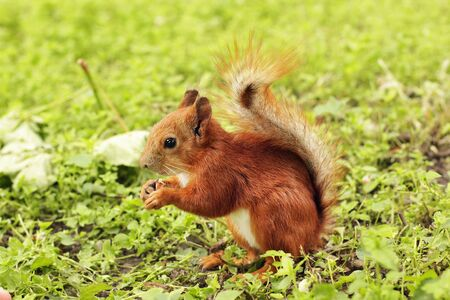 Sciurus. Rodent. The squirrel sits on the grass and eats. Beautiful red squirrel in the park