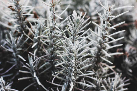 Frozen lavender bush. The plant is in the cold. Winter garden Zdjęcie Seryjne