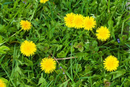 Dandelions on  green grass  background Stock Photo