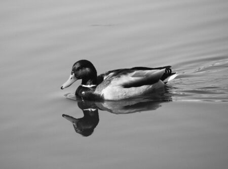 Drake in spring time (B&W). This photo is made in Opaliha village  near Moscow on April, 26 2009