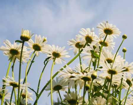 Camomiles on the sky background. This photo is made near Moscow on June, 12 2009. Stock Photo