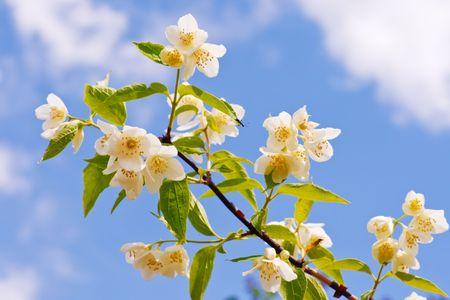 Branch of jasmine  on the sky background. Stock Photo