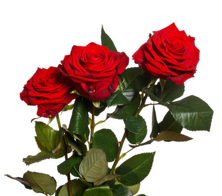Red roses isolated on a white background.