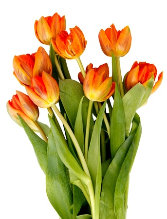 Bouquet of ginger tulips isolated on white background.