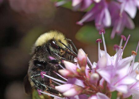バンブルビーはゴールデン ゲート パーク、カリフォルニア州サン Francisco のライラック色の花の蜜を集めています。それの毛皮は花粉を振りかけた