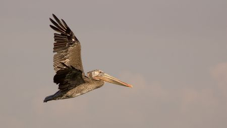 A brown pelican in flight against the pinkish grey of San Diego late afternoon sky. Wingtips are slightly motion-blurred. Stock Photo