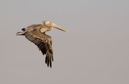 A brown pelican in flight against the pinkish grey of San Diego late afternoon sky. Wings are in the down-stroke. Wingtips are slightly motion-blurred. Stock Photo