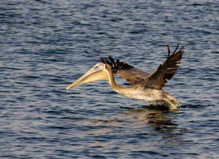 Brown pelican is taking off the surface of the Mission Bay in San Diego, California. Wingtips are motion blurred. Stock Photo