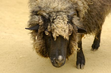domestic: A portrait of domestic sheep. Focus on the eyes.