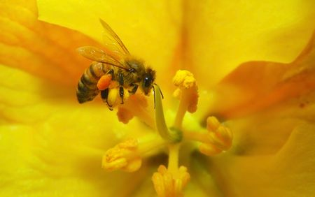 Bee gathering pollen on a sunny April day in Asilomar, California. photo